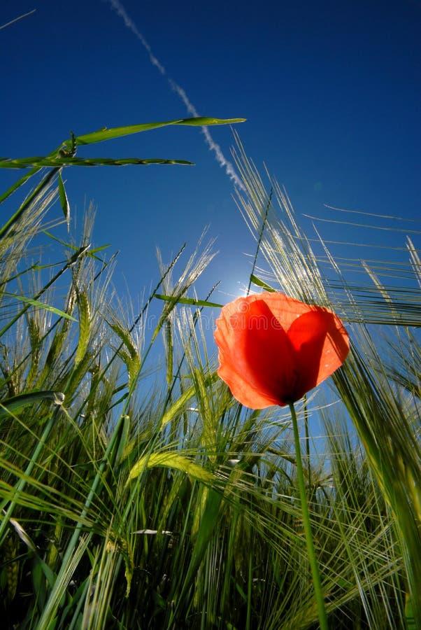 Flower. Red Flower during sommer in Greece stock photo