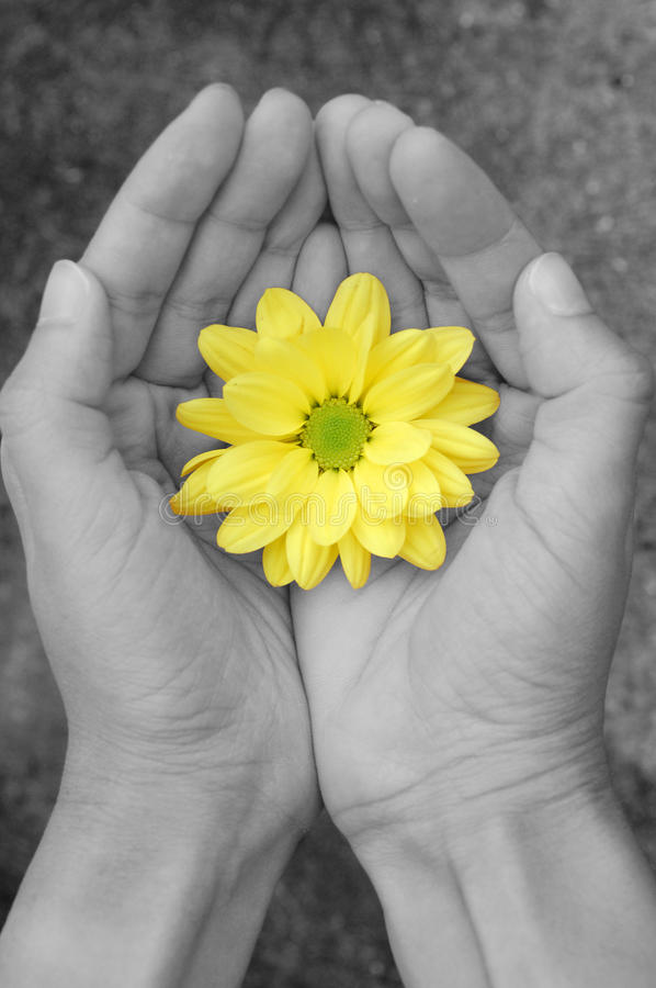 Flower. Hands in black and white holding a yellow daisy stock image