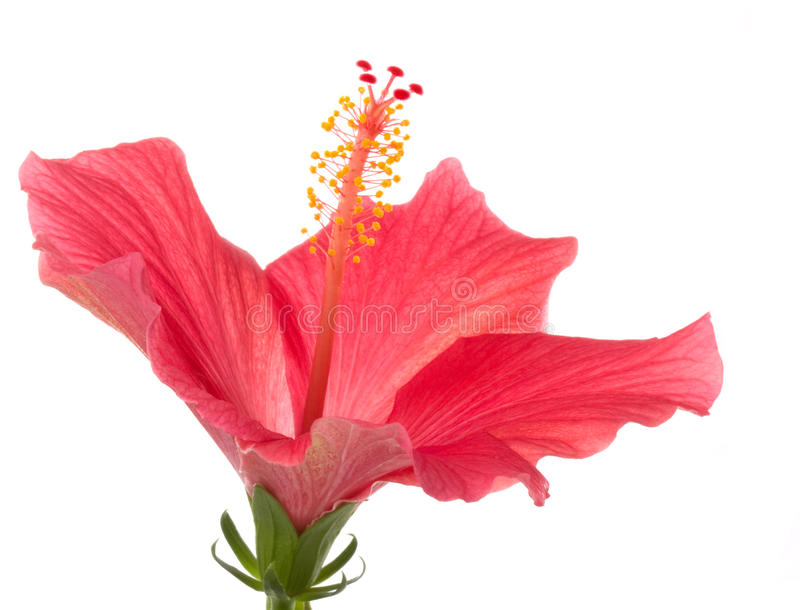 Flower. Red Hibiscus flower macro flowers, isolated on white background royalty free stock images