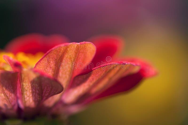Flower. Of Zinnia close up royalty free stock photo