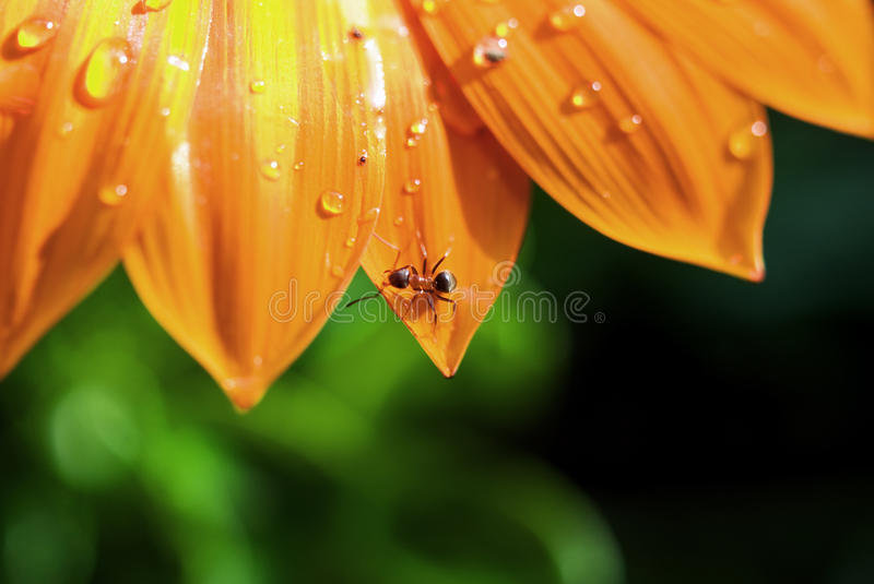 Flower. Water drops and ant lying on petal royalty free stock photos