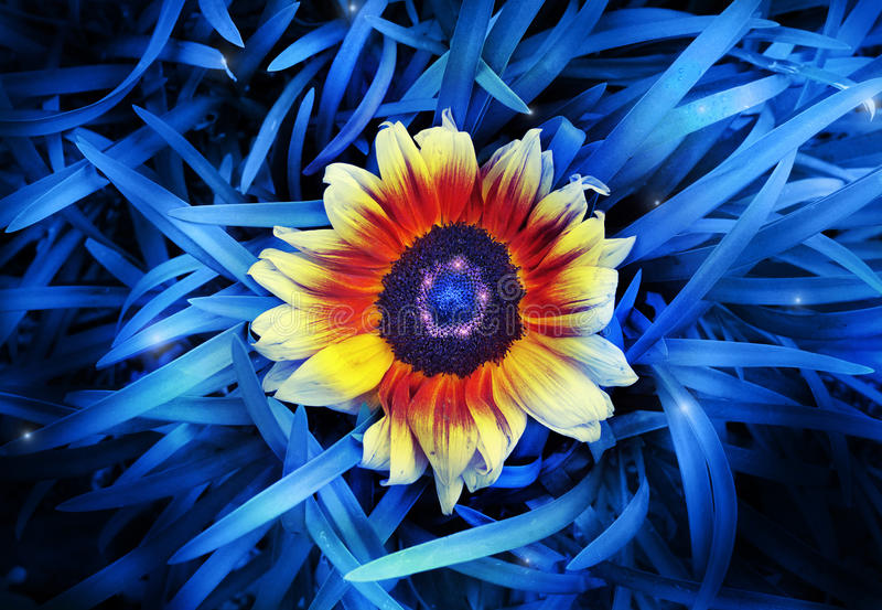 Flower. Abstract stylized photo of a vibrant sunflower in the midst of saturated blue blades of grass royalty free stock image