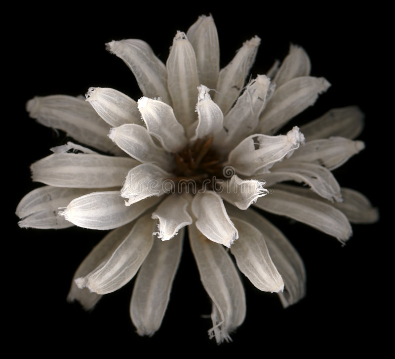 Flower. White flower with incredible detail, shallow depth of field and haunting beauty. 1 of 7 in the series royalty free stock photos