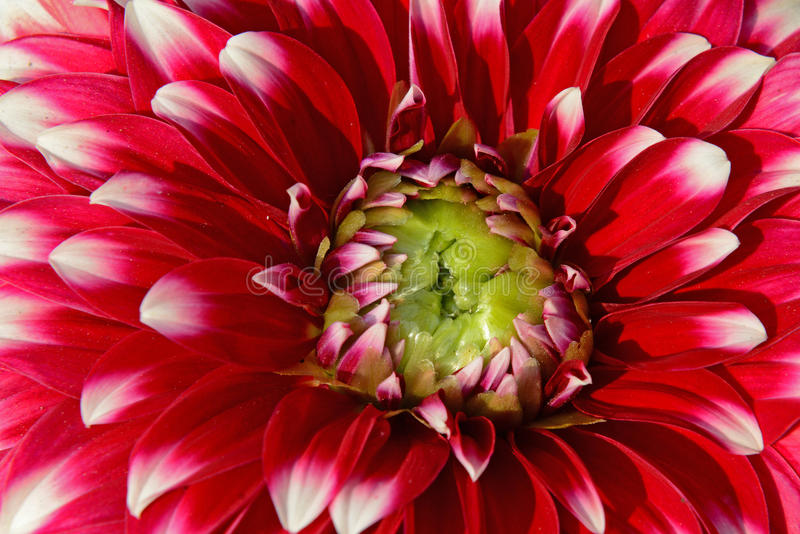 Flower. Close up photo of a red & white dahlia flower royalty free stock image