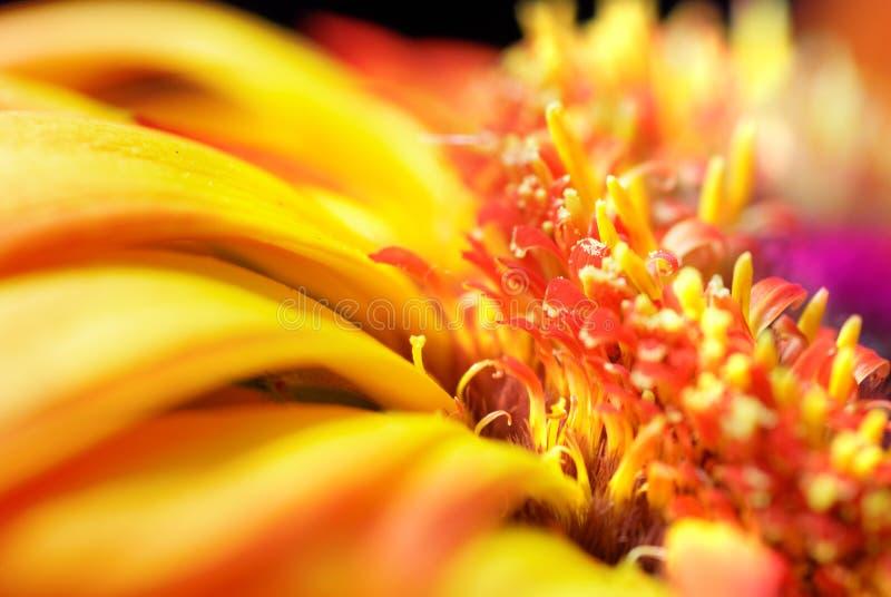 Flower. Bloom of red Gerbera flower royalty free stock photo