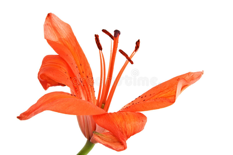 Flower. Orange lily with some missing petals, isolated on white royalty free stock image