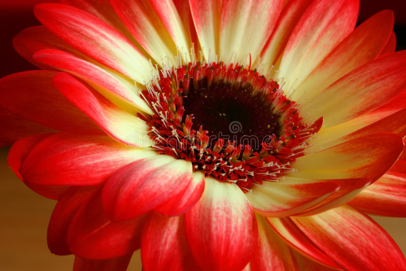 Flower. Red and yellow flower stock photo