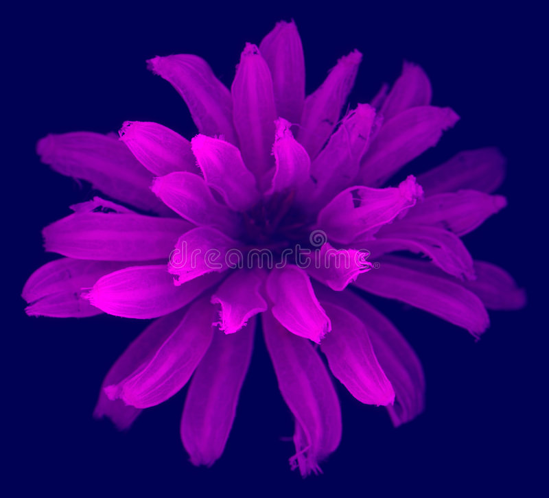 Flower. Purple flower on blue background with incredible detail and shallow depth of field stock photography