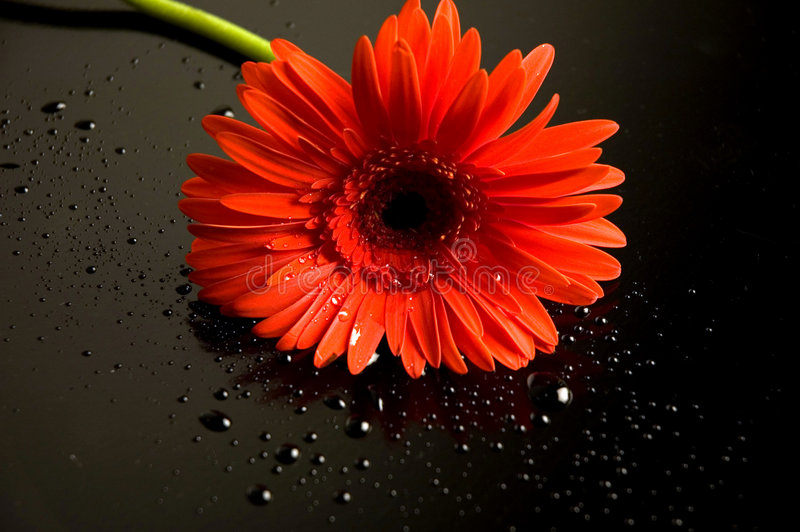 Flower. Red flower isolated on black royalty free stock image