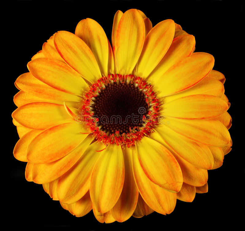 Flower. Close-up of an isolated flower stock photography
