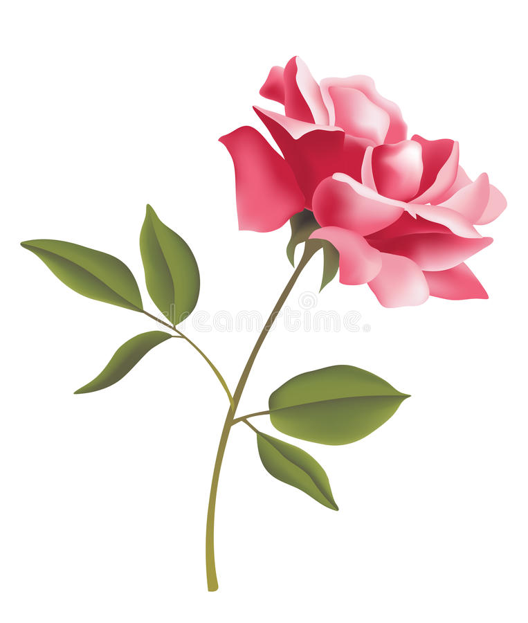 Flower. Pink rose and green leave on white backgroung vector illustration