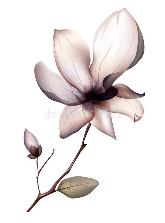 Flower. Illustrations drawing of beautiful magnolia flower isolated on white background