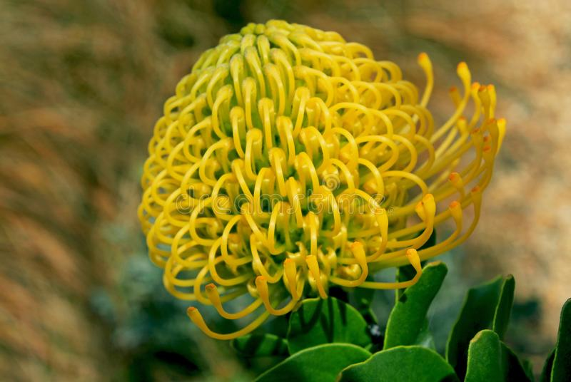 Flower of African Protea royalty free stock images