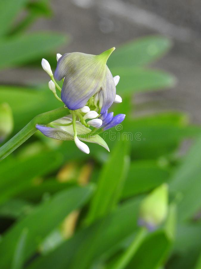 A flower of agapanthus african lily opening in springtime. stock photo