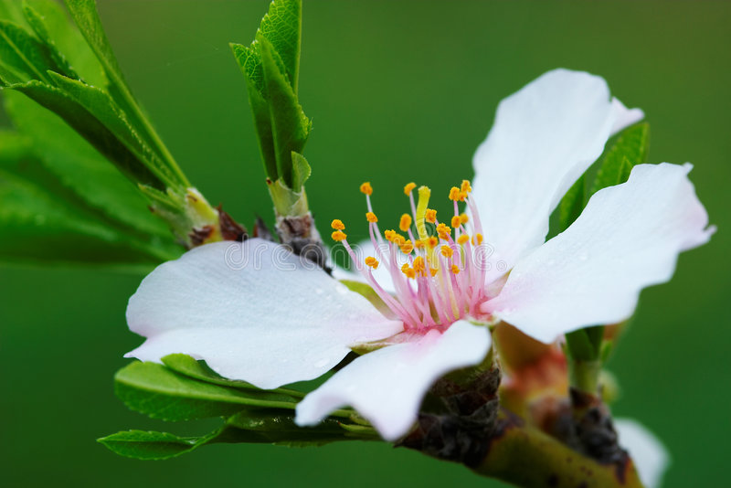 Flower Almond Tree stock image
