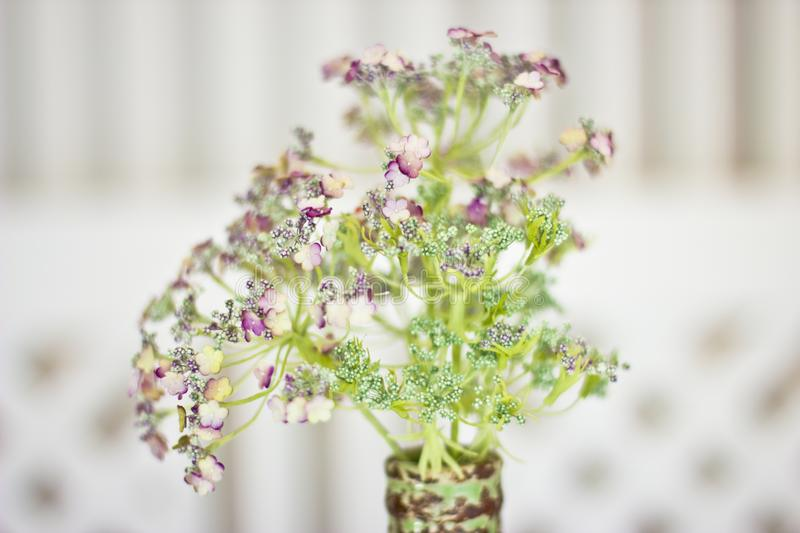Flower angelica officinalis in a vase. White small flowers on a. Flower angelica officinalis in a vase. White small flowers on green aureole stock photography