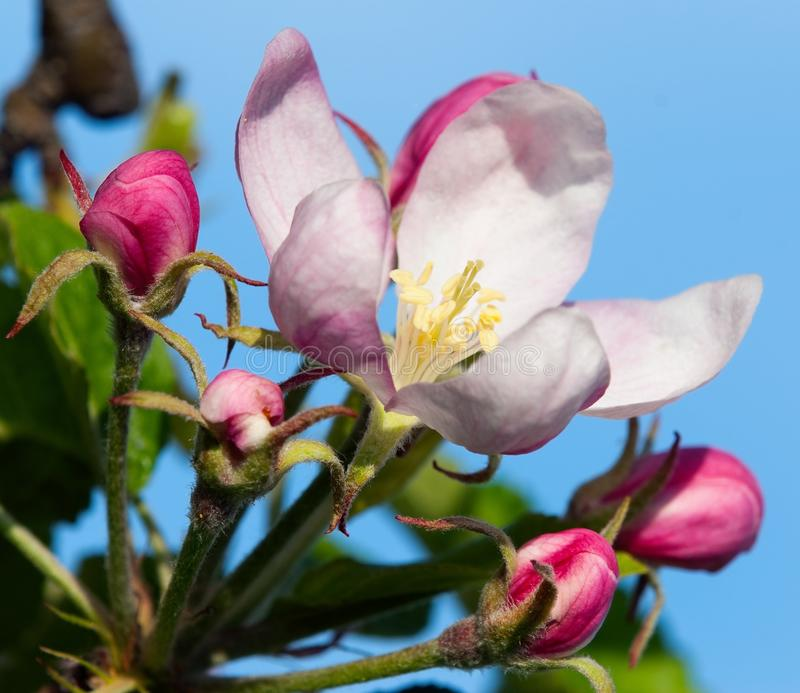 Download Flower of apple stock photo. Image of tree, vegetable - 22639980
