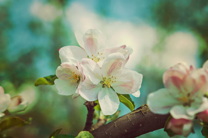 Flower Of Apple-tree Close Up Hipster Style Version royalty free stock images