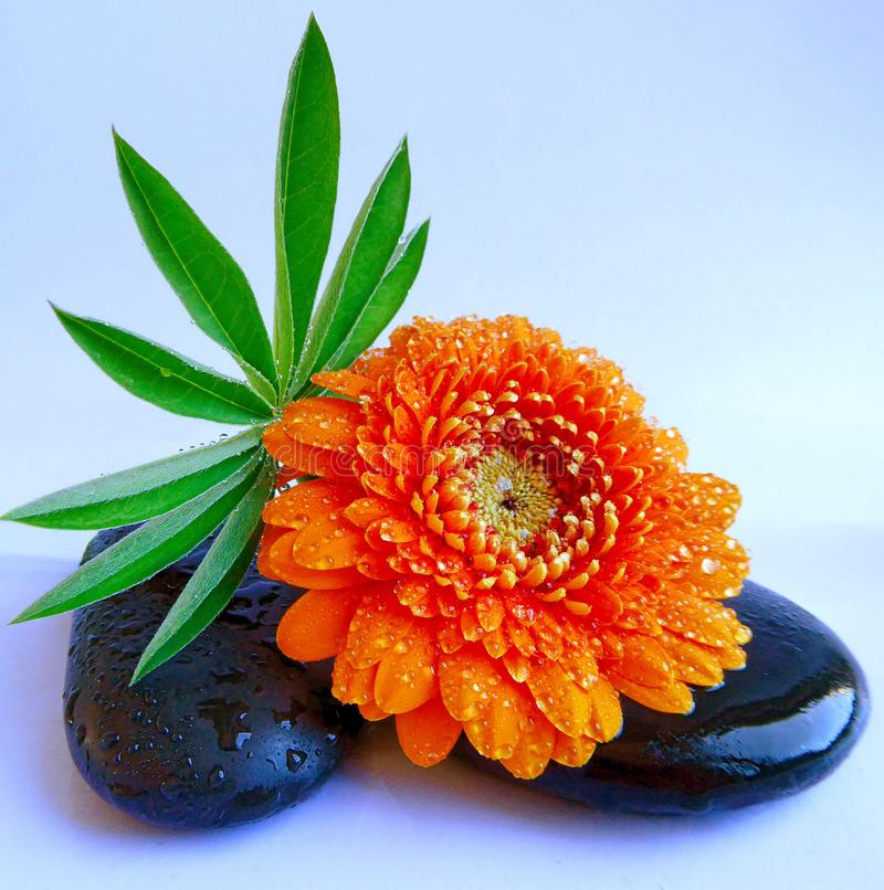 A flower arrangement with an orange Gerbera, leaves and dark stones royalty free stock photo