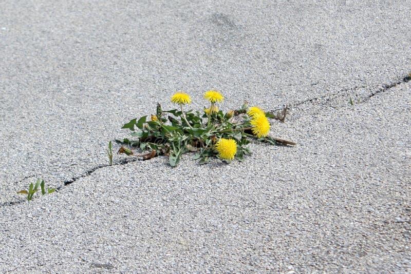 Flower in asphalt crack royalty free stock photos