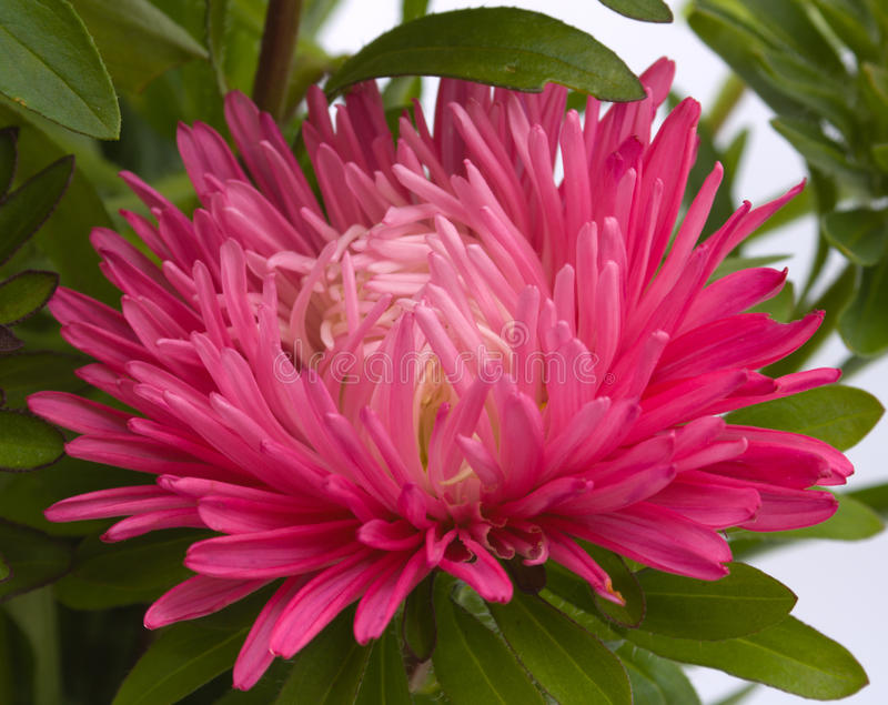 Download Flower of an aster stock image. Image of color, objects - 11316129