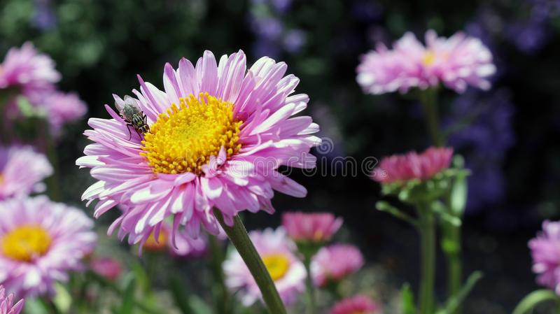 Flower, Aster, Flowering Plant, Daisy Family stock photos