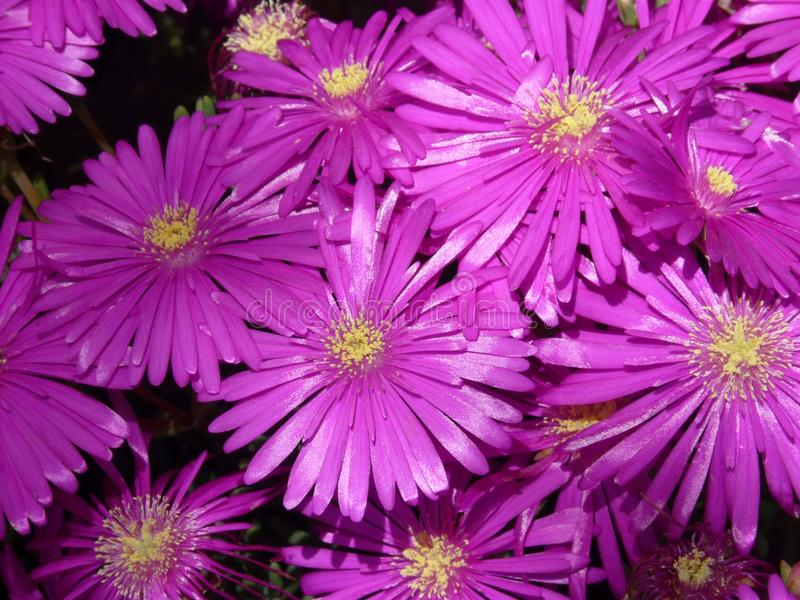 Flower, Aster, Purple, Ice Plant royalty free stock photo