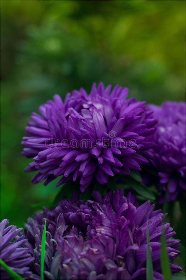 Flower Astra royalty free stock photo