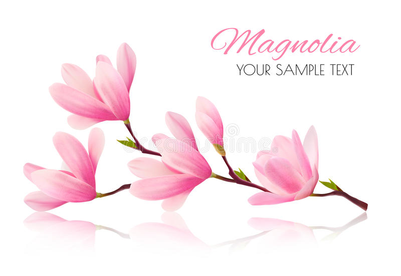 Flower background with blossom branch of pink magnolia. vector illustration