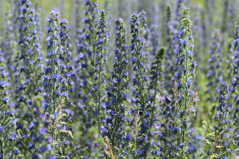 Flower background. Field of blooming Salvia pratensis. stock image