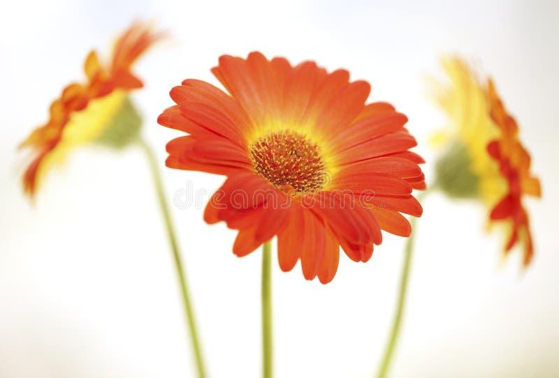 Flower background. Gerbera.