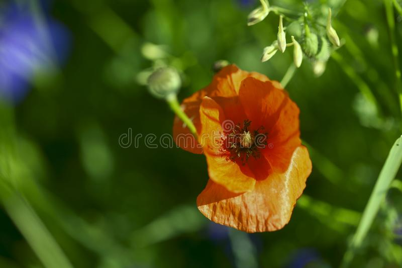 Flower background. One red poppy on a background of green grass on a sunny day in a meadow. stock photo