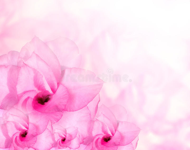 Flower background. Pink azalea flowers. To create a beautiful royalty free stock photography