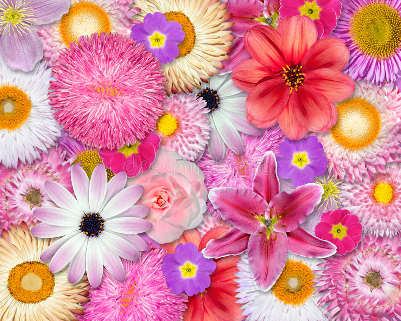 Flower Background Pink, Red, White Colors royalty free stock photography