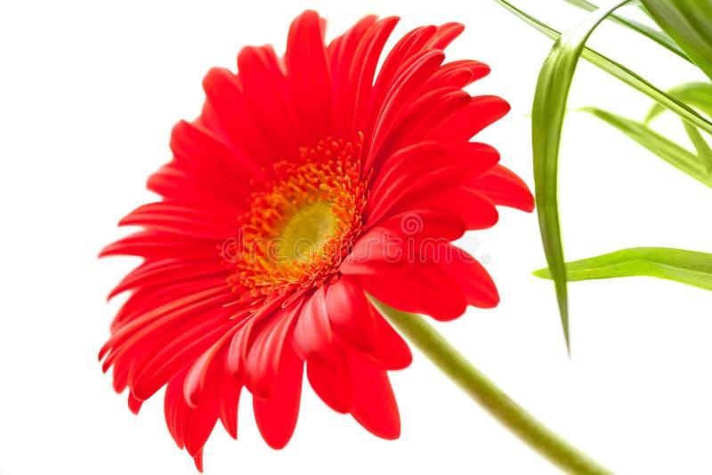 Download Flower Background. Red Gerbera Flower Stock Image - Image: 33149433
