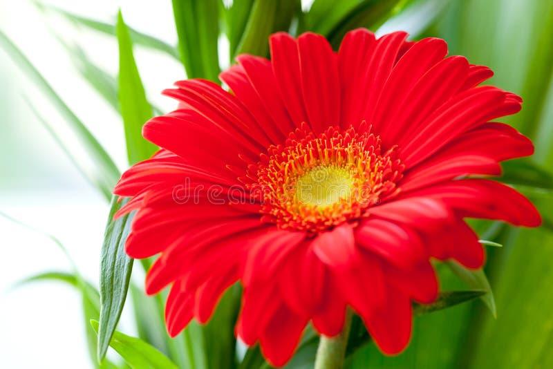 Download Flower Background. Red Gerbera Flower Royalty Free Stock Image - Image: 33149446