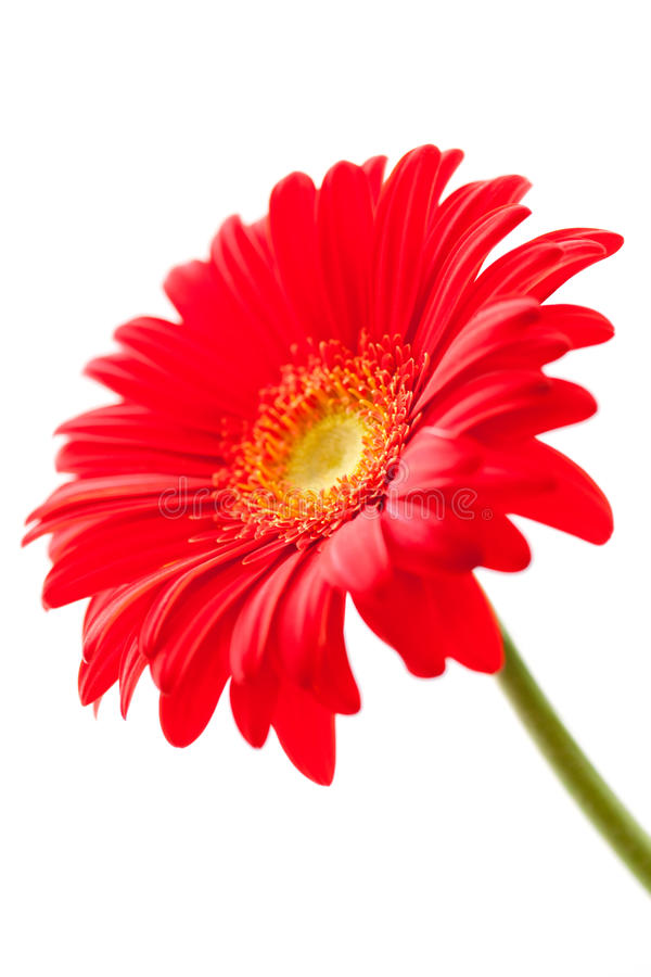 Download Flower Background. Red Gerbera Flower Stock Photo - Image: 33149472