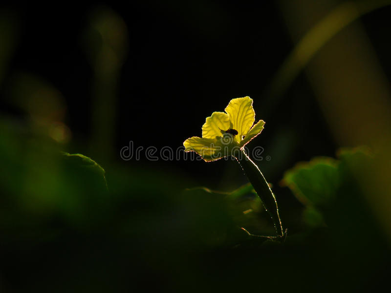 The flower of balsam pear. In sunshine stock photo