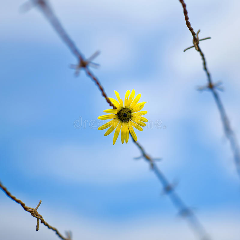 Flower and barbwire royalty free stock images