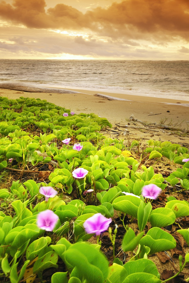 Flower on the beach. At sunset stock photos