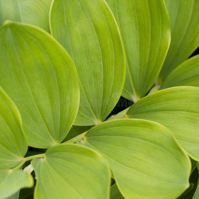 Flower with beautiful leaves. Decorative green plant with opposing oval leaves royalty free stock photos