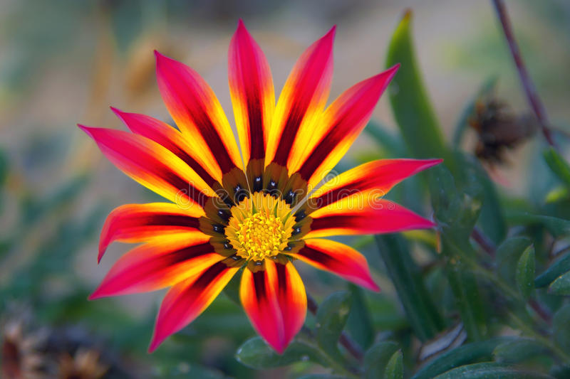 Flower. Beautiful spring flower with red and yellow petals for background stock photos