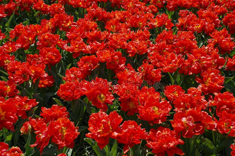 A flower bed with beautiful intense red tulips with yellow stamens and pistil black royalty free stock image