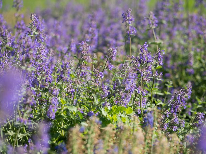 Nepeta cataria catnip, catswort, catmint. Flower bed of blooming Nepeta cataria - catnip royalty free stock photo