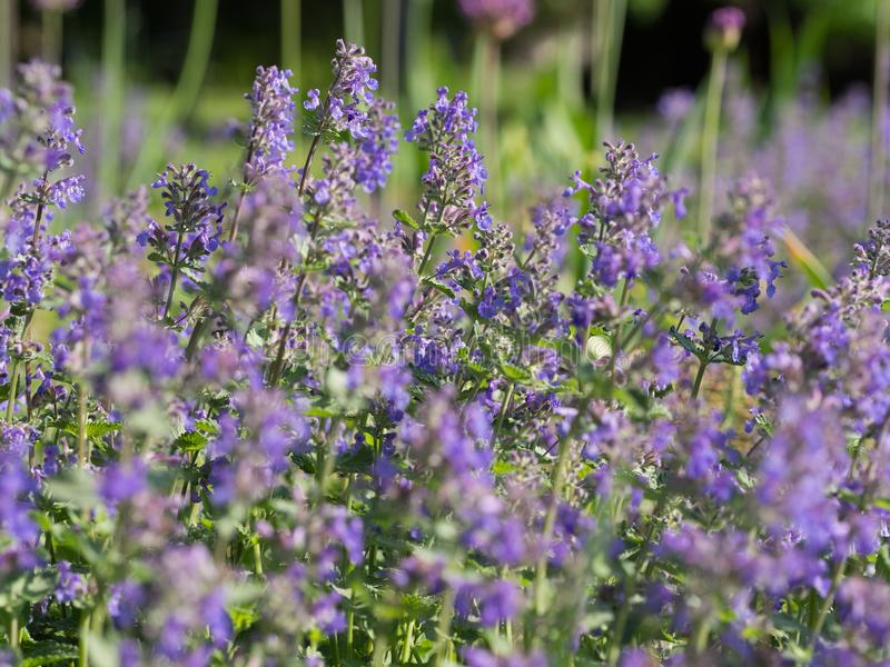 Nepeta cataria catnip, catswort, catmint. Flower bed of blooming Nepeta cataria - catnip stock photography