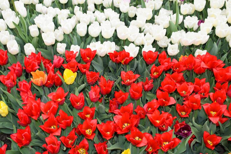 Flower bed with colorful tulips: red and white. royalty free stock photo