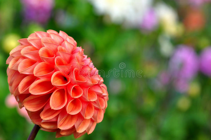 Flower bed with dahlia stock photos