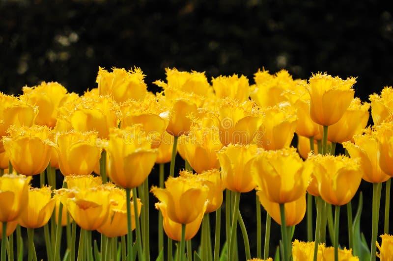 Flower-bed der ungewöhnlichen gelben Tulpen stockbild