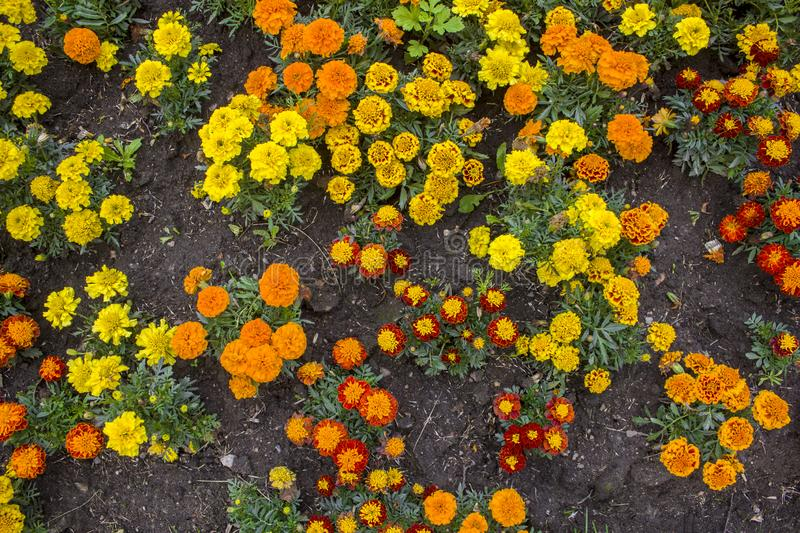 Flower bed of fresh bright yellow, orange, red and green golden mary flowers top view. natural surface texture royalty free stock images
