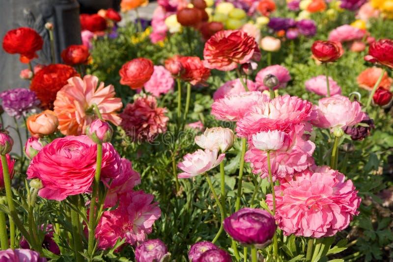 Flower-bed mit Mohnblumen lizenzfreie stockfotos